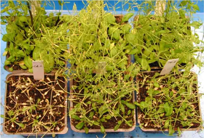 HKU scientists discover a drought tolerance gene that may help plants fight against global warming gallery photo 1