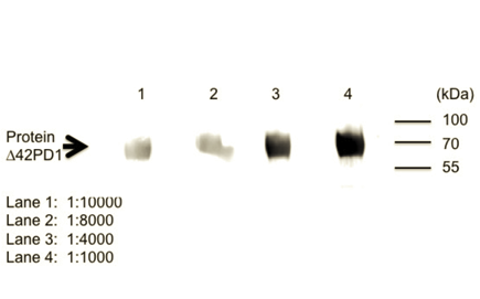 Monoclonal mouse anti-Δ42PD1 antibody, clone CH101